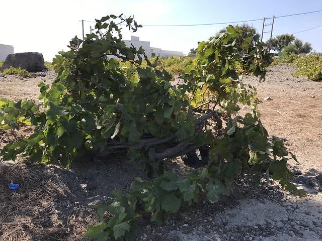 greece 1240 grape tree