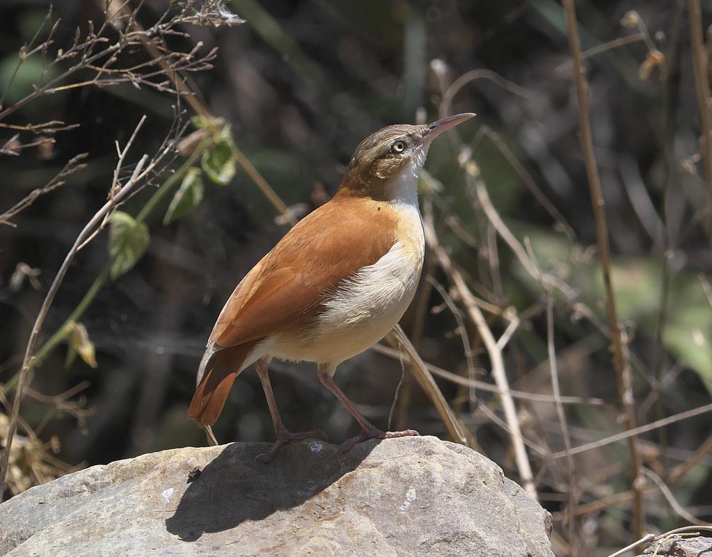 Pale-legged Hornero (Furnarius leucopus)