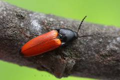 Orange click beetle