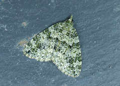 70.096 Autumn Green Carpet - Chloroclysta miata