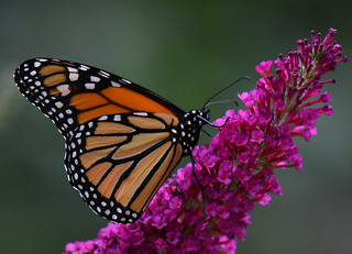 Monarque / Monarch Butterfly
