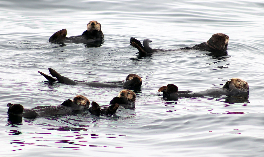 seaotters-05
