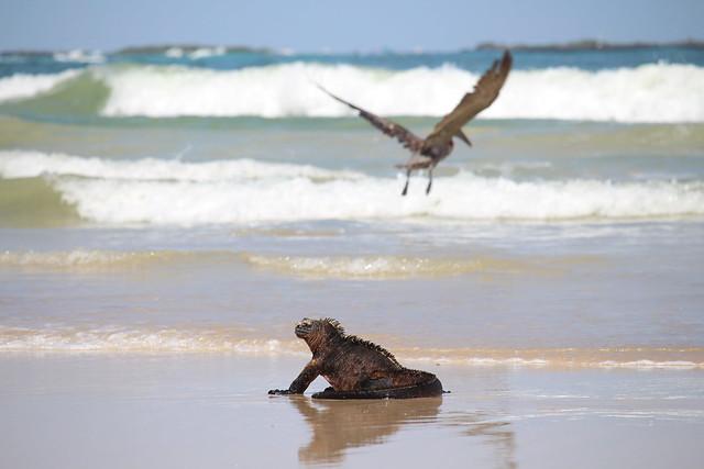 Ecuador - marine iguana