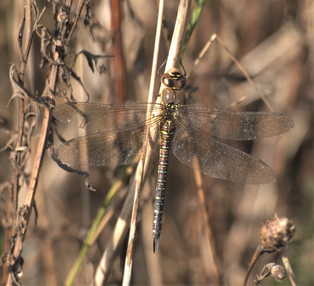 Female Brown Hawker Dragonfly