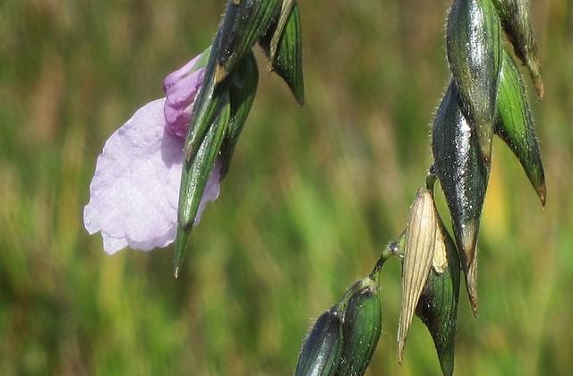 Thalia geniculata --  Fireflag in flower 2900