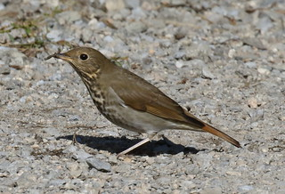 Hermit Thrush finds something good to eat | by Rob -Alexander