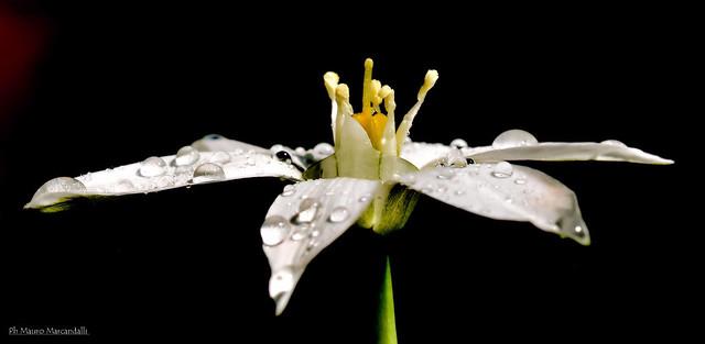 Lacrime di  primavera