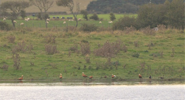 Six Ruddy Shelducks at Cresswell Ponds