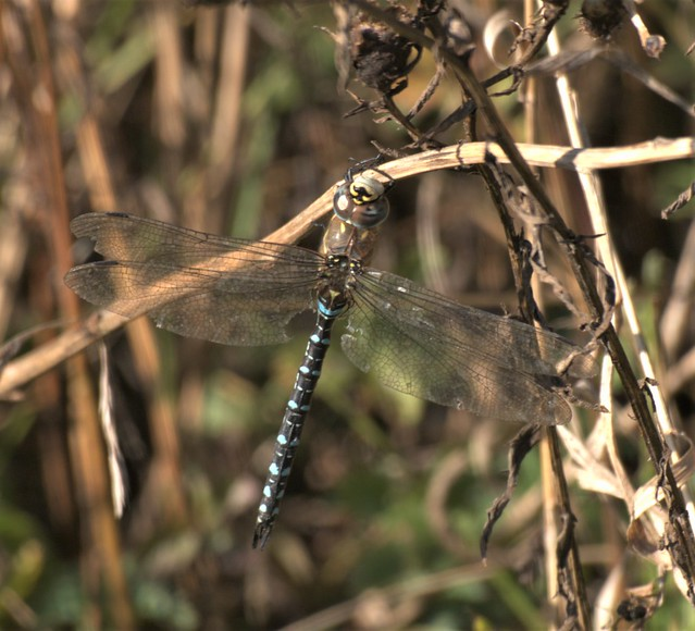 Common Hawker - Druridge