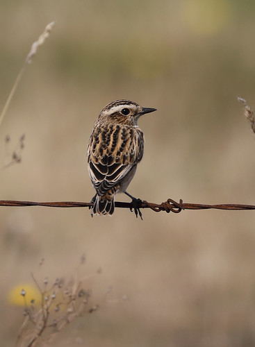 Whinchat (Saxicola rubetra), adult