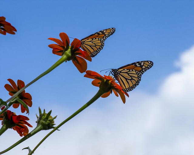 Monarchs on Mexican Sunflowers on Tennessee's Cumberland Plateau