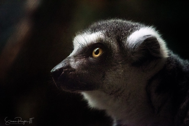 Lemur in Profile