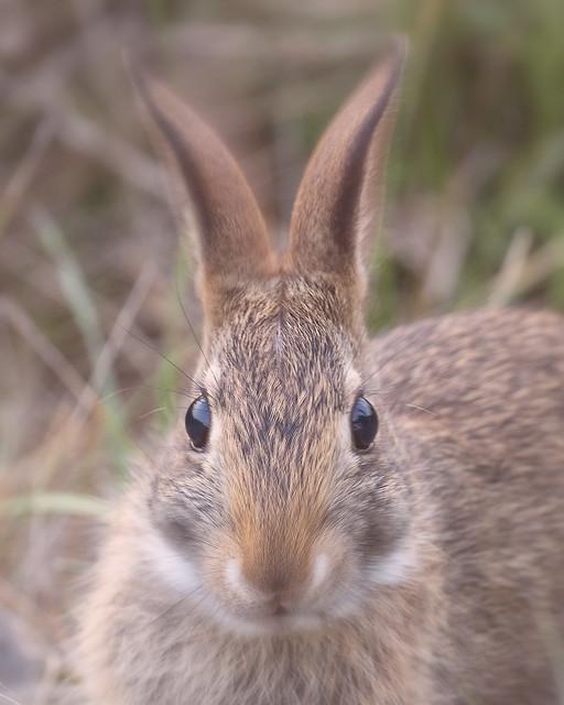 Wild Rabbit Ear Twitch