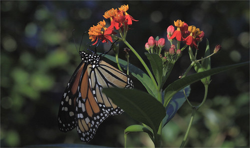 Monarch And Mexican Butterfly Weed