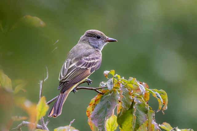 Great Crested Flycatcher?