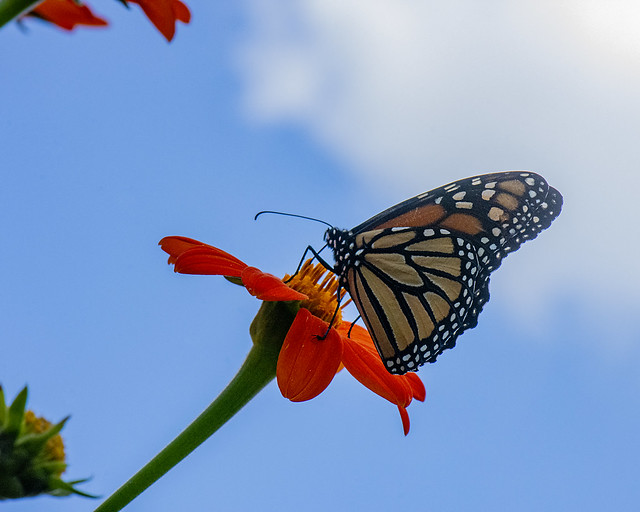 Monarch on Mexican Sunflower found on the Cumberland Plateau of Tennessee
