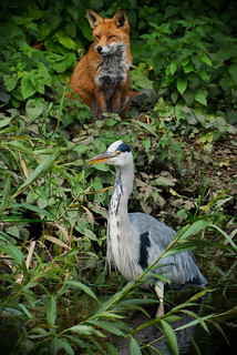Fox and Heron watch the world go by.