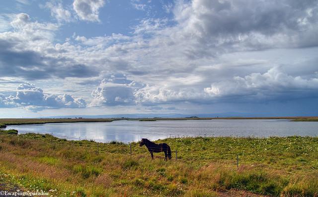 IcelandicHorse+1_1761_TMW