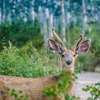 Cerf-mulet au petit matin. Mule deer in the morning.