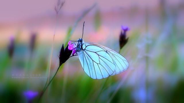 Fehér pillangó a nyári szélben