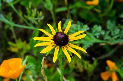 Wild black-eyed Susan DSC_0589_01_edited-1