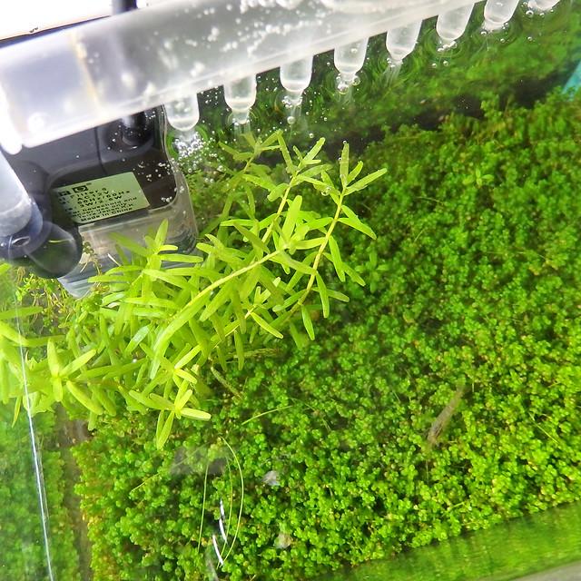 水上葉 水中葉化 キューバパールグラス ニューラージパールグラス 越冬