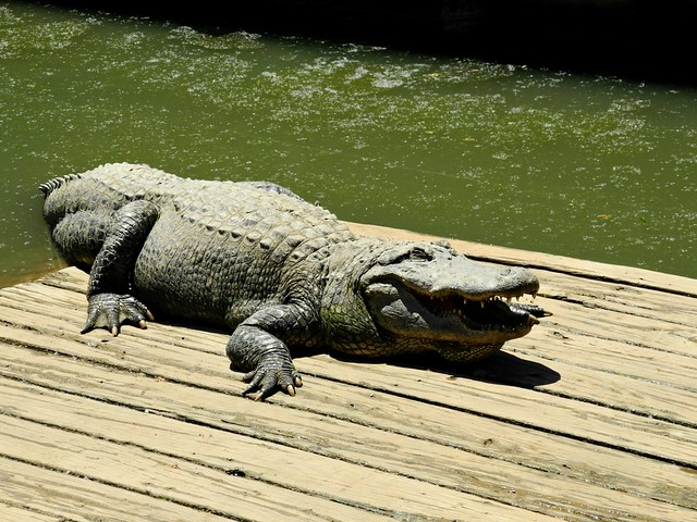 Georgette the Alligator on T-Roy's Pier