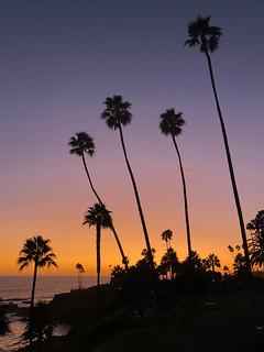 Palm Trees in Laguna Beach, California