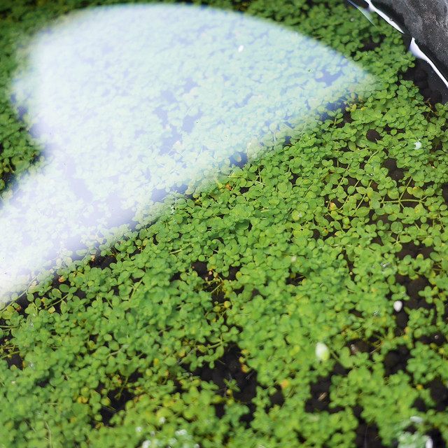 ニューラージパールグラス 水上葉 水上葉化 ビオトープ