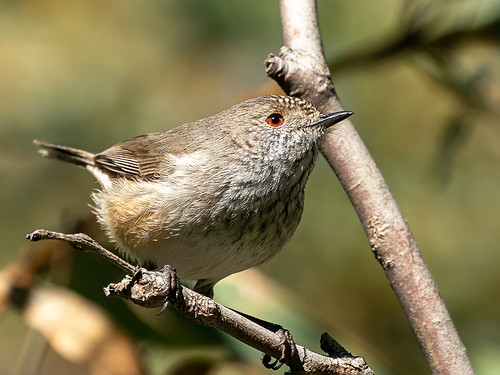 Inland Thornbill (Acanthiza apicalis)