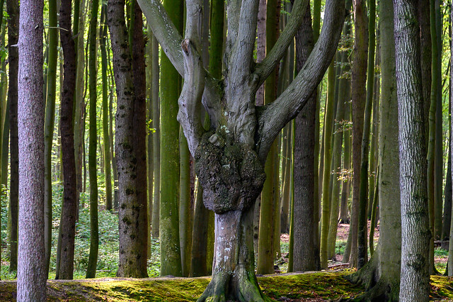 Beech wood in Nienhagen - Germany