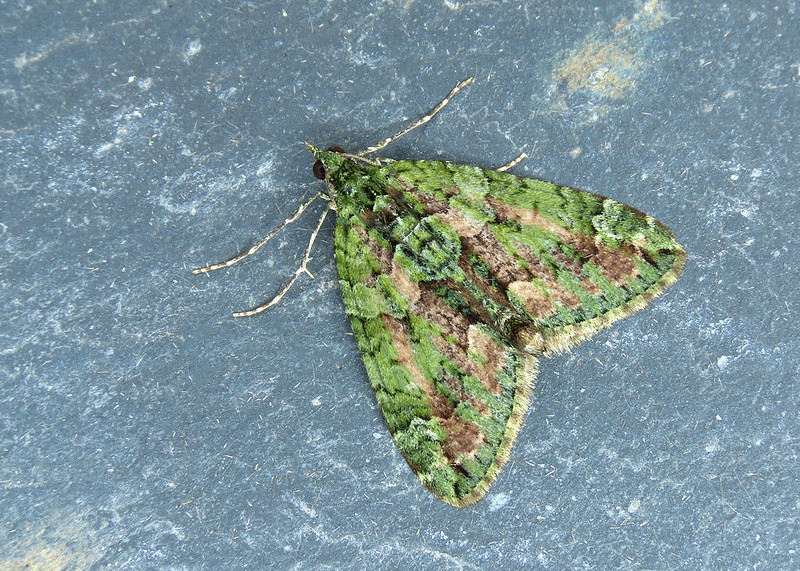 70.095 Red-green Carpet - Chloroclysta siterata