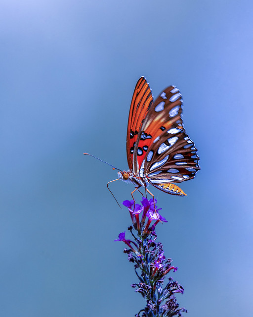 Gulf Fritillary Butterfly found on Tennessee's Cumberland Plateau