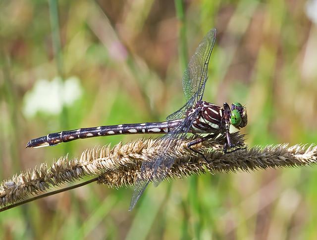 Arrow Clubtail (Stylurus spiniceps)