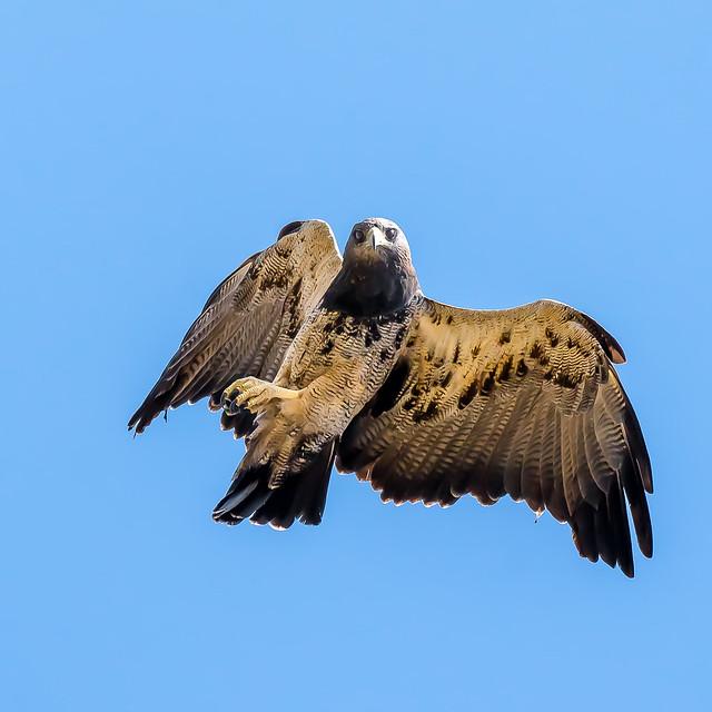 Águila Mora  - Cordoba
