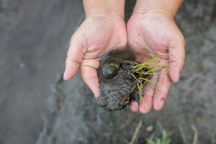 金寶螺是稻作農友的頭號天敵,最愛啃食水稻幼苗。