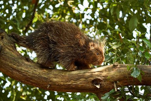 ヤマアラシの木登り