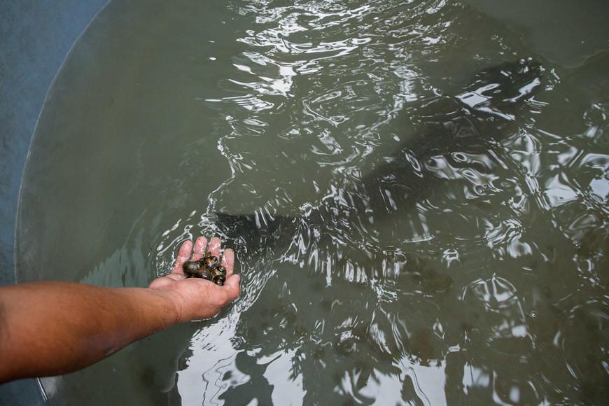 拿金寶螺餵烏溜魚,是「以肉換肉」的生態循環。