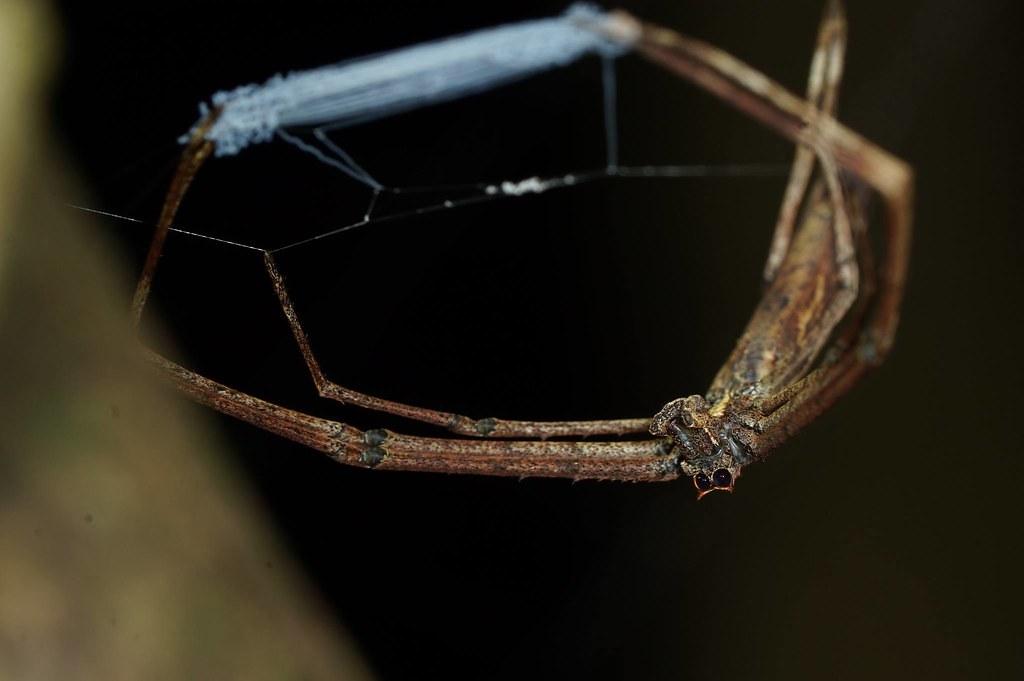 雙角鬼面蛛的捕捉網很膨鬆,就算是在收合的狀態還是很明顯。(攝影:徐瑞仙)