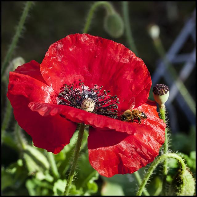 Remembrance Poppy_1=
