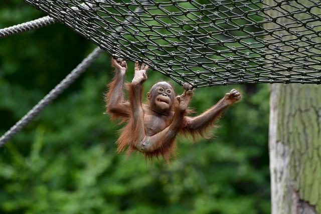 Borneo Orang-Utan baby