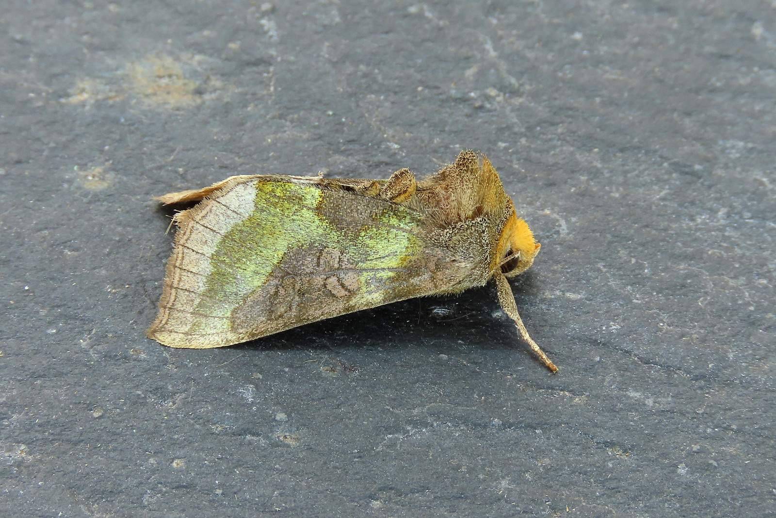 73.012 Burnished Brass - Diachrysia chrysitis