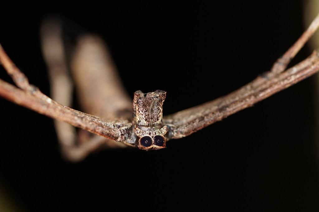 雙角鬼面蛛有對大大的眼睛,長相十分有趣。(攝影:吳憶麟)