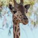 Giraffe P8251070r