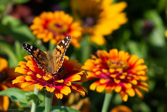 Papillon, ailes intérieures