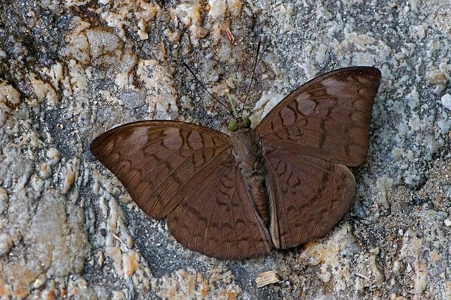 Tanaecia jahnu - the Plain Earl