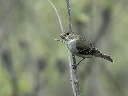 thraupidae drabseedeater sporophilasimplex