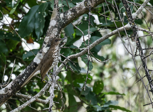 turdidae marañonthrush turdusmaranonicus