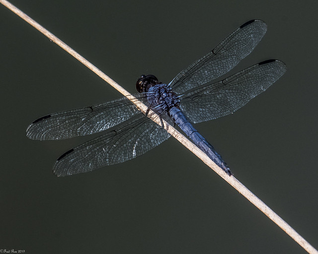 Slaty Skimmer [Libellula incesta]