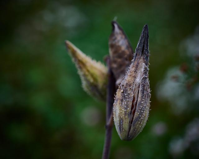 milkweed, beginning to release seeds